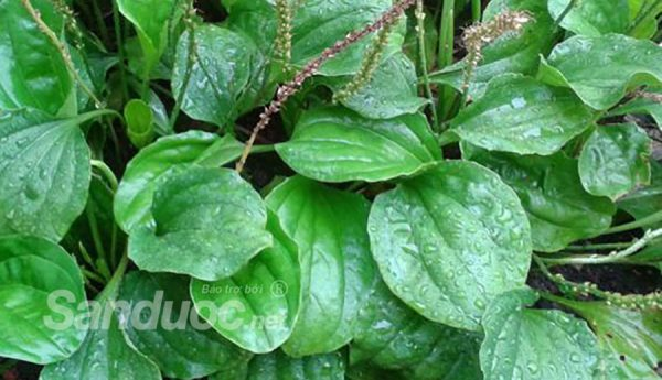 Top 8 cây thảo dược có tác dụng giải nhiệt hiệu quả!
