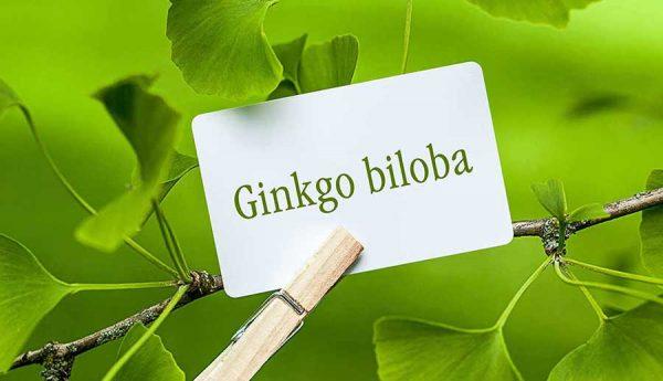 Ginkgo Biloba, hỗ trợ điều trị chứng mất trí nhớ, giảm lo âu, căng thẳng