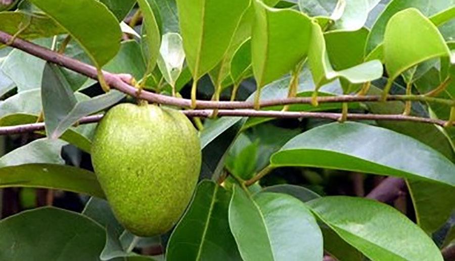 Lá và quả cây bình bát