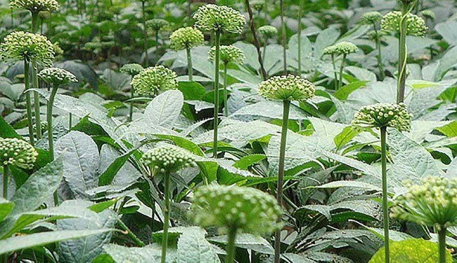 Cây tam thất được trồng nhiều ở các tỉnh phía Bắc Việt Nam.