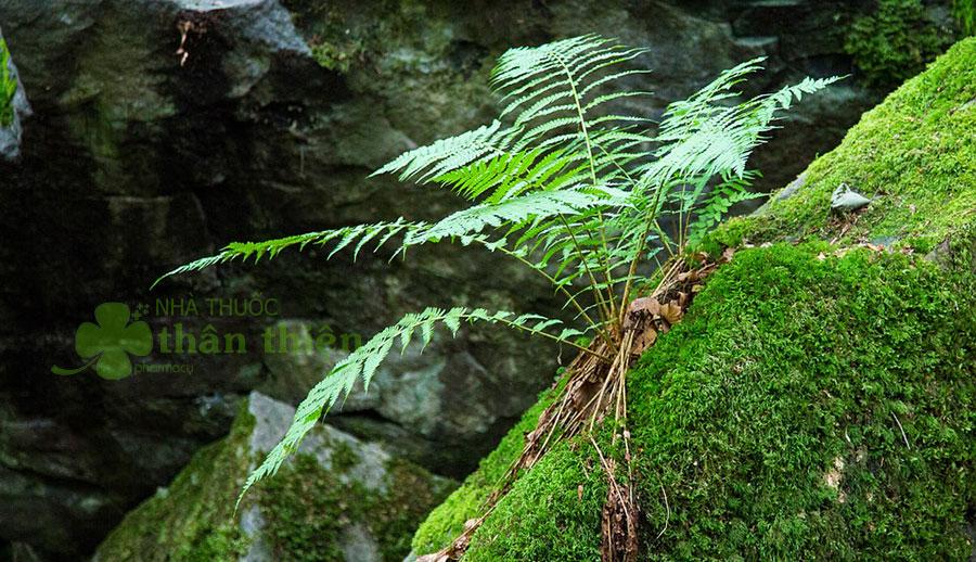 Cây dương xỉ con mới mọc trên một mỏm đá!