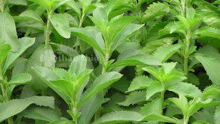 Cây cỏ ngọt, Công dụng, Dược chất, Bài thuốc đông y chữa bệnh!