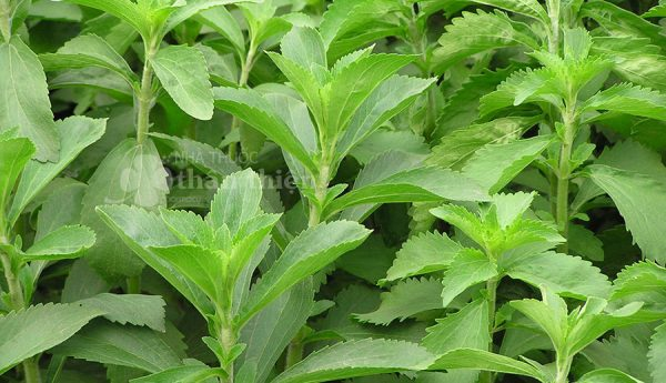 Cây cỏ ngọt, hỗ trợ chữa huyết áp cao, giúp thanh nhiệt cơ thể, giải độc