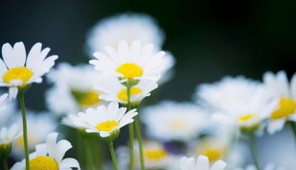 Hoa cúc trắng, hỗ trợ trị phong tê thấp, trị tiêu chảy, giải độc, mát gan