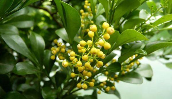 Hoa ngâu, hỗ trợ trị đau nhức xương khớp, huyết áp cao, chữa ho hen