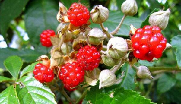 Cây ngấy hương, Hỗ trợ trị viêm gan, vàng da, giảm nguy cơ đau tim