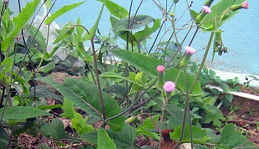 Cận cảnh cây rau má lá rau muống