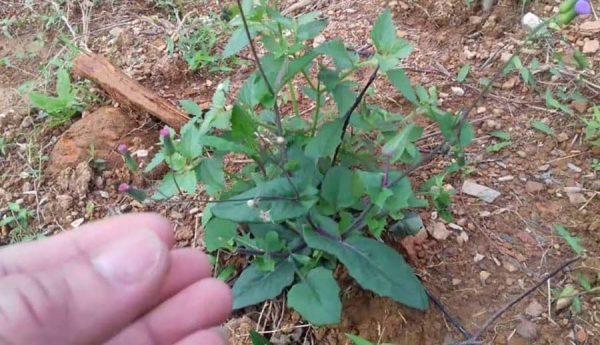 Cây rau má lá rau muống điều trị viêm gan, ho lao và viêm họng hạt