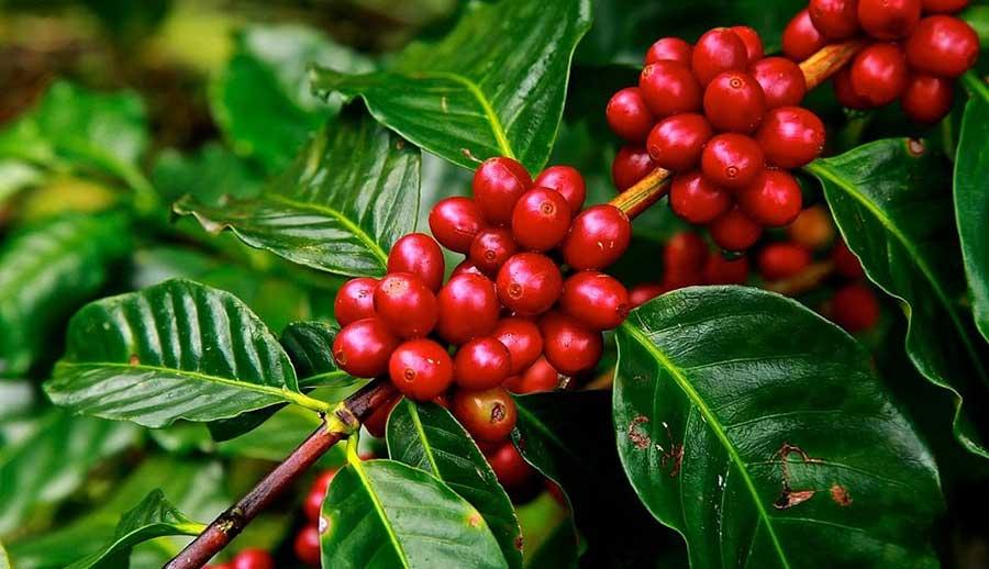 Cây cà phê, Công dụng gì, Ứng dụng trong y học ra sao?