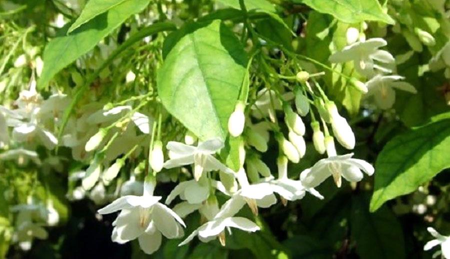 Cây Mộc hoa trắng, Công dụng, Dươc tính, Bài thuốc chữa bệnh đông y?