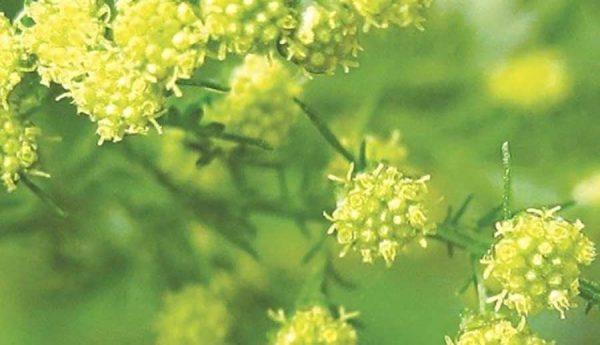 Thanh hao hoa vàng, giúp thanh nhiệt, giải cảm và giúp kích thích tiêu hóa