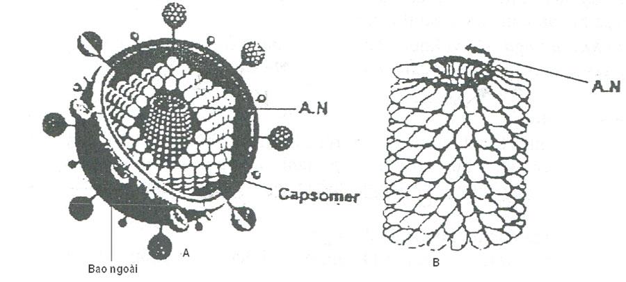 Hình 2: Các kiểu cấu trúc của virus